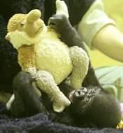 癒やしの赤ちゃんゴリラ 京都市動物園で公開