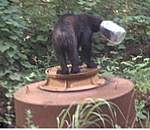 瓶から頭が抜けなくなった熊