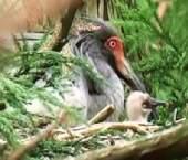 国の特別天然記念物 トキの赤ちゃん 36年ぶり
