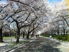 大阪造幣局の桜並木